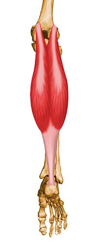 funcion del musculo gemelo interno y externo
